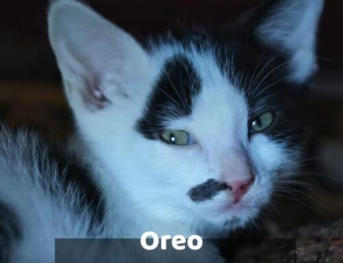 ADOPTION PENDING Oreo